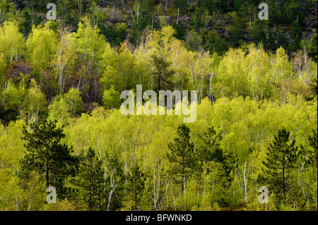 Forested ridges with birch, aspen and red pine, Greater Sudbury, Ontario, Canada - Stock Photo