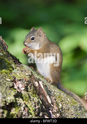 A North American red squirrel (Tamiasciurus hudsonicus) feeding on seed from a black spruce (Picea mariana) cone. - Stock Photo
