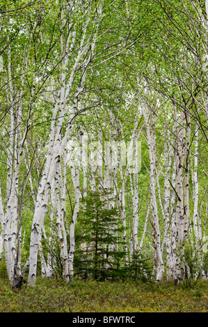 White birch (Betula papyrifera) grove with spring foliage and red pine tree, Greater Sudbury, Ontario, Canada - Stock Photo