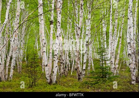 White birch (Betula papyrifera) grove with spring foliage, Greater Sudbury, Ontario, Canada - Stock Photo