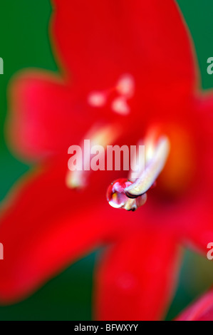 crocosmia lucifer flower buds unopened closeup close up detail red abstract pattern symmetry - Stock Photo