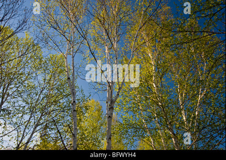 Birch trees with emerging foliage in morning light, Greater Sudbury, Ontario, Canada - Stock Photo