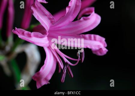 Close up of Nerine bowdenii Mark Fenwick - Stock Photo