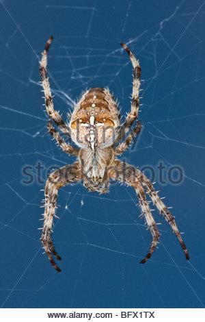 Garden orb Spider on the web 1:1 macro - Stock Photo