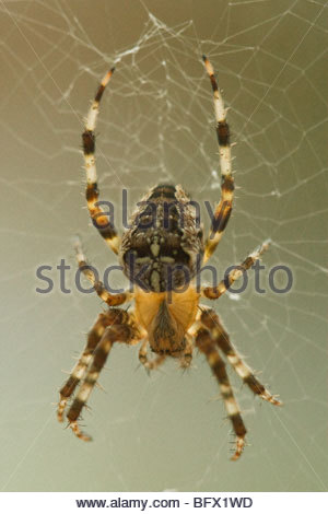 Garden orb Spider on the web 1:1 macro - Stock Photo
