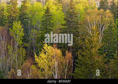 Emerging Spring foliage in deciduous trees in mixed forest on hillside, Greater Sudbury, Ontario, Canada - Stock Photo