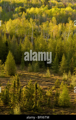 Spring forest on hillsides, Greater Sudbury, Ontario, Canada - Stock Photo