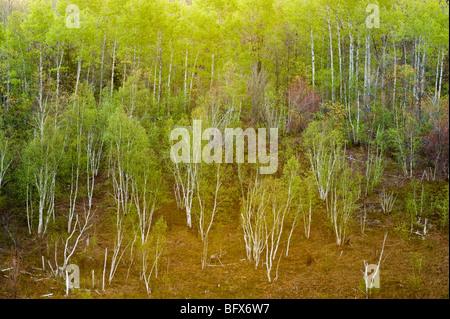 Spring birch forest on hillsides, Greater Sudbury, Ontario, Canada - Stock Photo
