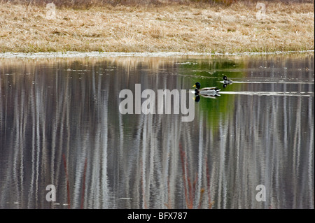 Birch tree reflections in beaver pond, with migrating waterfowl, Greater Sudbury, Ontario, Canada - Stock Photo