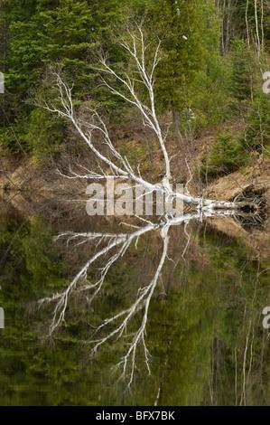 Spring tree reflections in Wanapitei River, Greater Sudbury, Ontario, Canada - Stock Photo