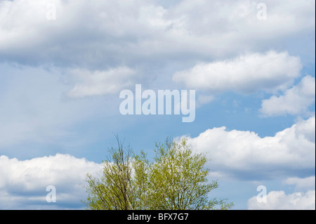 Aspen with emerging foliage against sky, Greater Sudbury, Ontario, Canada - Stock Photo