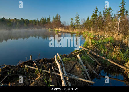 Emerging grasses on beaver dam in early spring, Greater Sudbury, Ontario, Canada - Stock Photo