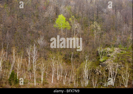 Aspens and birch trees in spring valley from high viewpoint, Greater Sudbury, Ontario, Canada - Stock Photo