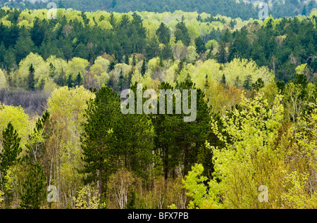 Fresh foliage in aspens with spruce and pine trees in valley from high viewpoint, Greater Sudbury, Ontario, Canada - Stock Photo