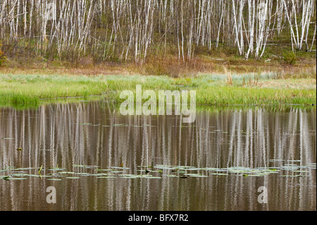 Birch tree reflections in beaverpond with water lily pads, Greater Sudbury, Ontario, Canada - Stock Photo