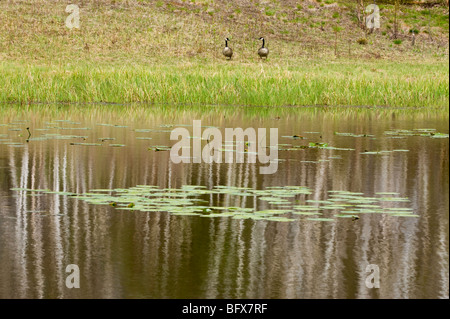 Birch tree reflections in beaverpond with water lily pads and grazing Canada geese on shore, Greater Sudbury, Ontario, - Stock Photo