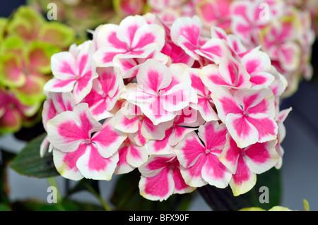 Blooming hydrangea (Hydrangea macrophylla) - Stock Photo