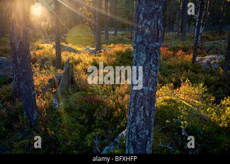 Blueberry growth in dry rocky pine ( pinus sylvestris ) forest in Finland - Stock Photo