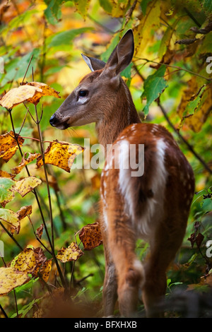 A White-Tailed Fawn (Odocoileus virginianus) also known as the Virginia deer or the whitetail in Quebec, Canada Stock Photo