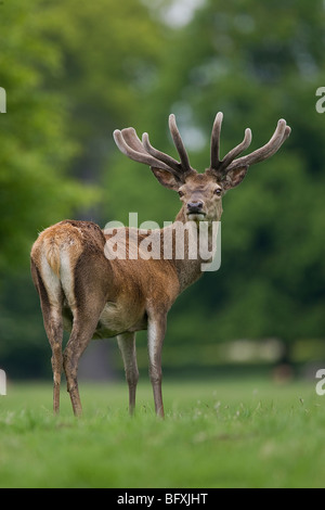 Red Deer Stag at Studley Royal in North Yorkshire - Stock Photo