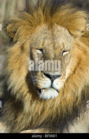 Male African Lion, Panthera leo, resting. Masai Mara National Reserve, Kenya. - Stock Photo