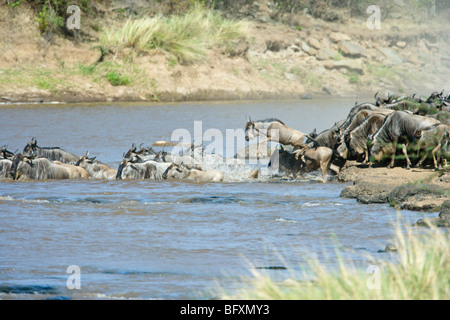 Wildebeest, Connochaetes taurinus, gather on the bank of the Mara River before crossing. Masai Mara National Reserve, - Stock Photo