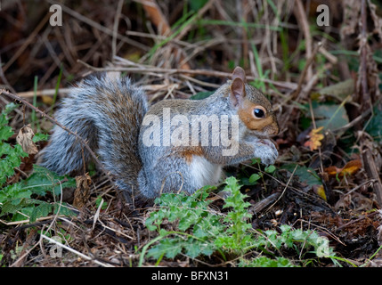 Grey Squirrel Sciurus carolinensis FORAGING ON THE FOREST FLOOR - Stock Photo