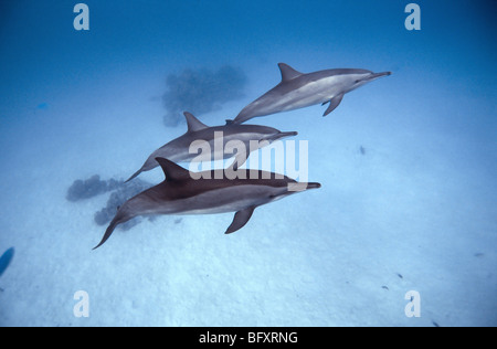 Red Sea. dolphins. Marsa Alam - Samadai Bay, underwater, clear water, blue water, scuba, diving, ocean, sea, snorkel, - Stock Photo