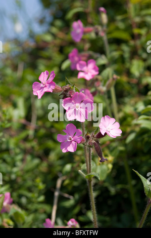 Campion (Silene dioica) (Hybrid) growing  wild in a hedgerow - Stock Photo