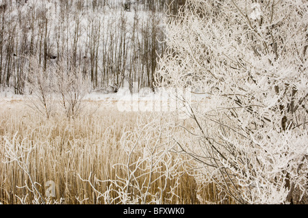 Frosted trees and common reeds near open water of Robinson Creek, Greater Sudbury, Ontario, Canada - Stock Photo