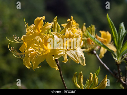 Yellow Rhododendron Luteum - Stock Photo