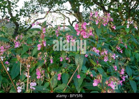 IMPATIENS GLANDULIFERA; HIMALAYAN BALSAM FLOWERS