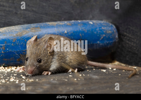 house mouse; Mus musculus; in shed - Stock Photo