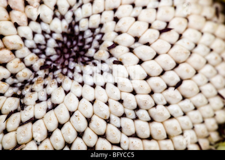 Sunflower Seed Head; in detail; Cornwall