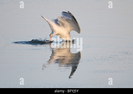 Herring gull Larus argentatus winter adult plunging for shore crabs. Norfolk. - Stock Photo