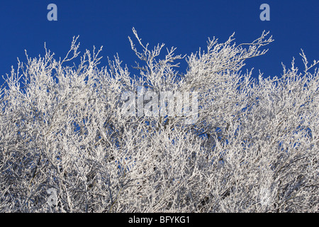 A hard (hoar) frost has settled on these trees in the depths of winter. - Stock Photo