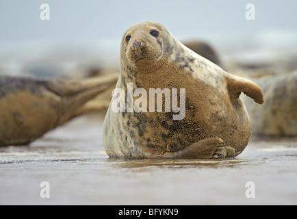Atlantic grey seal Halichoerus grypus at breeding colony. Lincolnshire. - Stock Photo