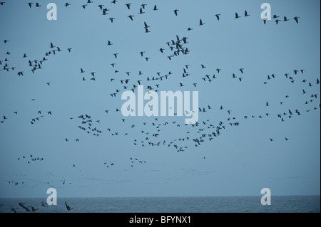 Pink-footed geese Anser brachyrhynchus leaving roost on the Wash at first light. Snettisham RSPB reserve, Norfolk. - Stock Photo