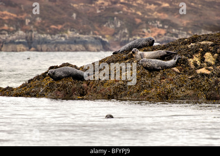 Common seals basking on rocks at Gruinard bay, Wester Ross, Scotland - Stock Photo