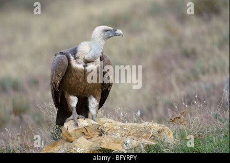 Griffon vulture Gyps fulvus adult. Catalonian Pyrenees, Spain. - Stock Photo