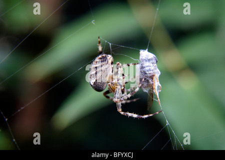 Common english garden spider with a wasp for it's prey - Stock Photo