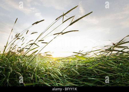 Wet grass at dawn - Stock Photo