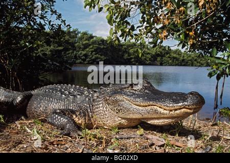 American alligator (Alligator mississippiensis), Coots Bay Pond, Everglades National Park, Florida, USA - Stock Photo