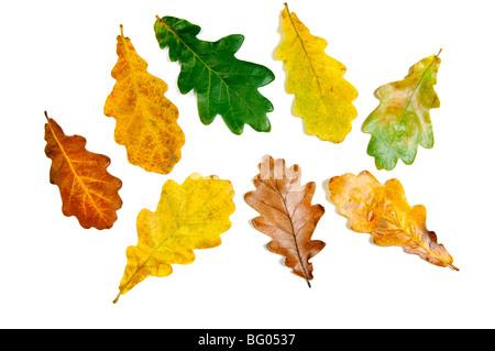 Colored fall autumn oak leaves - Stock Photo