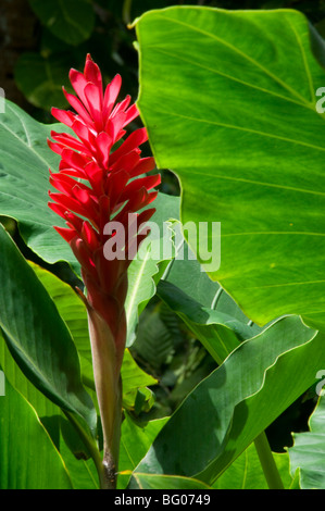 Red ginger (Alpinia purpurata) at the Diamond Botanical Garden, St. Lucia, Windward Islands, West Indies, Caribbean - Stock Photo