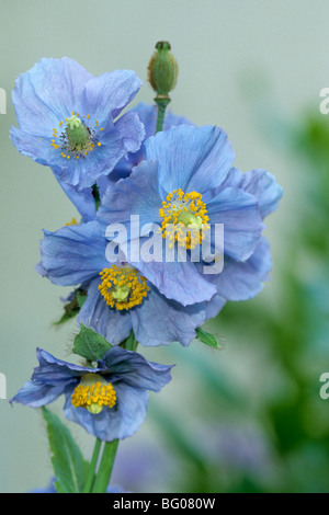 Himalayan Poppy, Blue Poppy (Mecanopsis betonicifolia), flowers. - Stock Photo