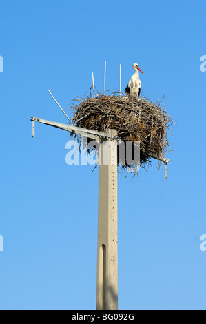 White Stork (Ciconia ciconia) Standing on Huge Nest Perched on Electricity or Telegraph Pole, Camargue, France - Stock Photo