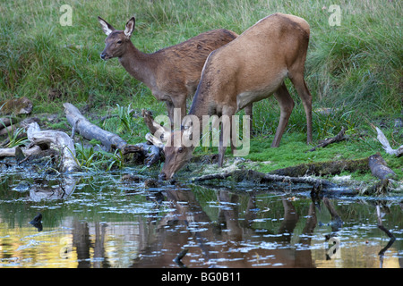 Red Deer (Cervus elaphus). Hind and calf drinking from a pond. - Stock Photo