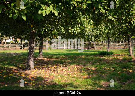 fallen apples in orchard - Stock Photo