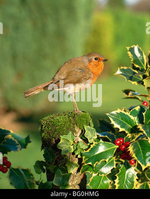 Robin (Erithacus rubecula) perching on post near holly - Stock Photo